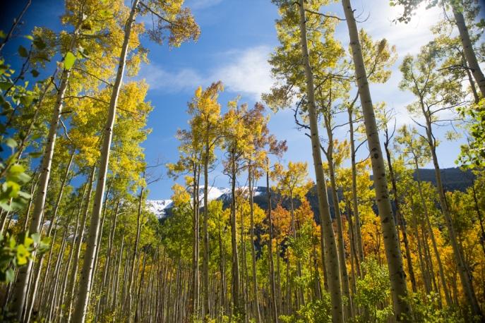 Hösten är skimrande vacker, björkskogen utanför Aspen är overkligt självlysande